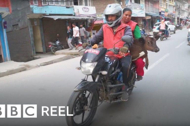 Ky burrë përdor motorin për të shpëtuar lopët e braktisura