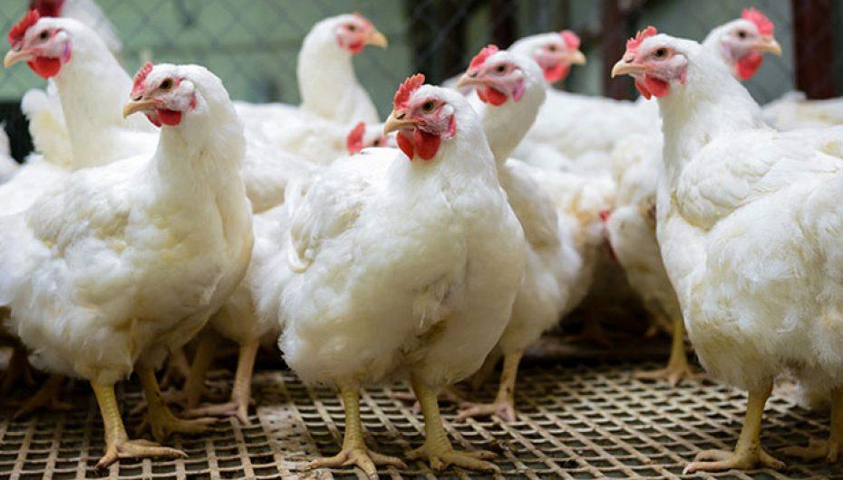 Shteti i Uashingtonit ndalon shitjen e vezëve të pulave në kafaz