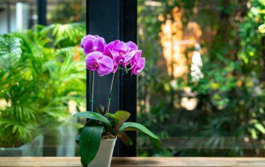 Orkidetë pastrojnë ajrin e shtëpisë dhe rrisin nivelin e humorit